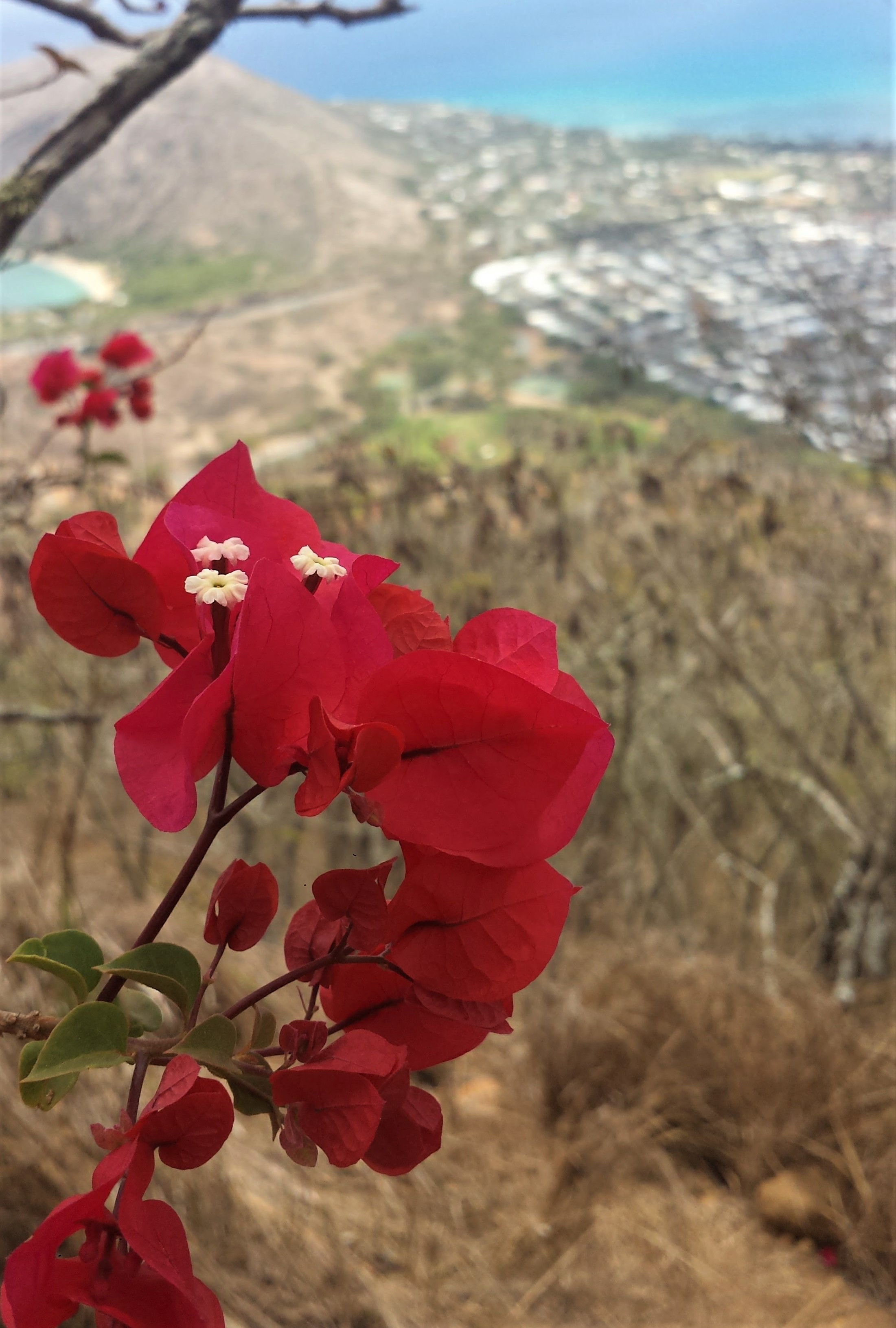 Vivid pink flower surrounded by brown shrubbery on the top of the Koko head trail in Oahu