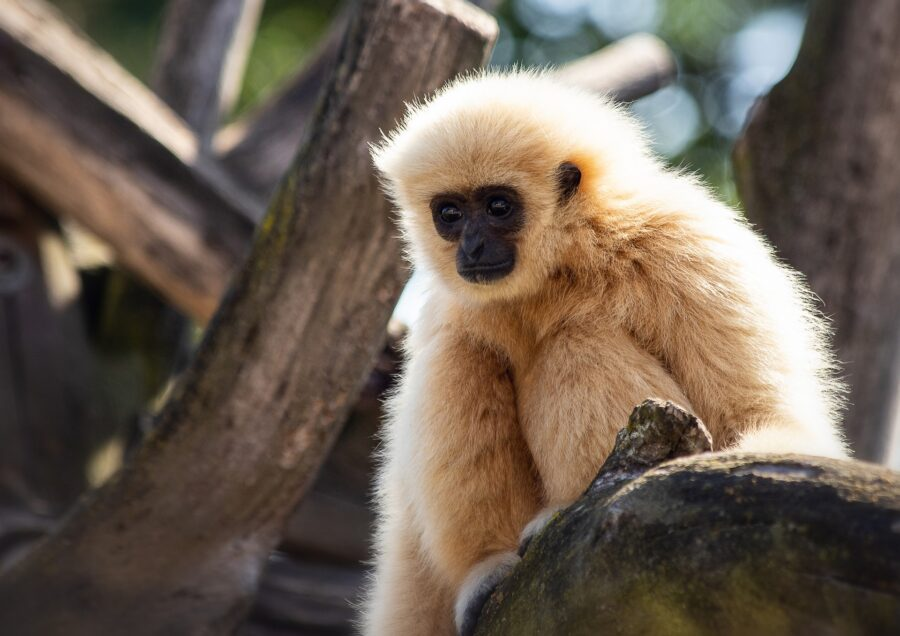 Gibbon in the trees in Thailand - A Great Day Trip from Phuket is the Gibbon Rehabilitation Center