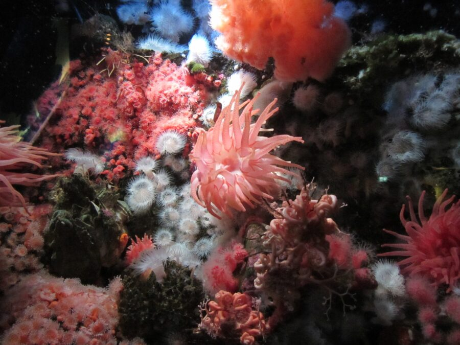 A sea anemone and the marine life near Waterfront Vancouver BC - showcased at the Vancouver Aquarium