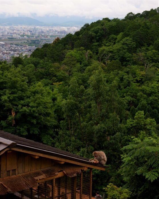 A couple of monkeys on the roof at Monkey Park Iwatayama, surrounded by the Arashiyama forest and views of Kyoto