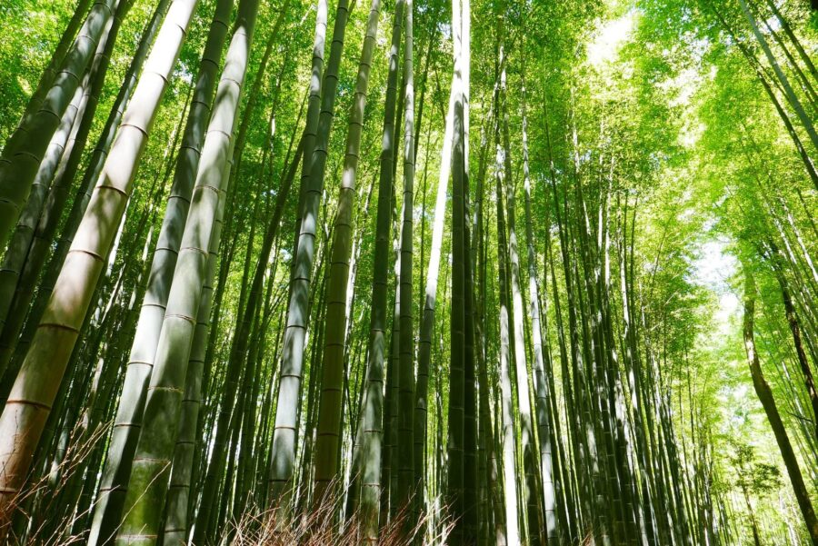 The lush bamboo forests of Arashiyama, an essential spot on your 2 day Kyoto itinerary