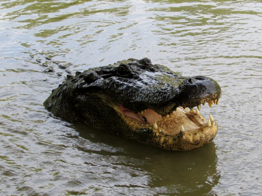 An alligator with its mouth open and head popping out of the water in the Bayou near New Orleans, Louisiana