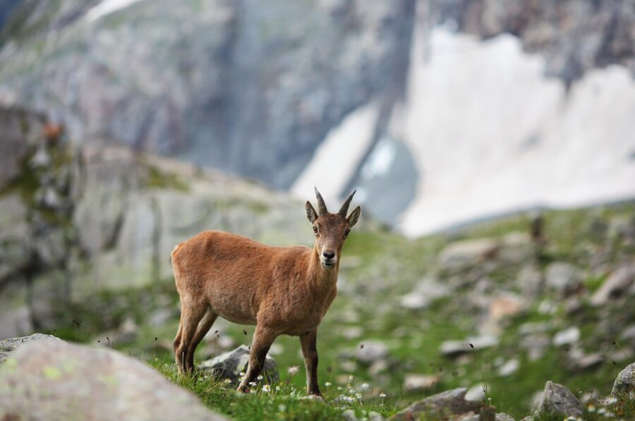 A goat in the mountains, surrounded by rocks and grass - a sight you may see on your beginner hike if you pace yourself!