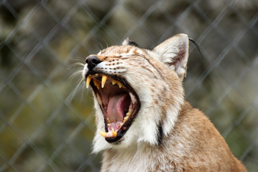 A lynx yawning in BC Wildlife Park, a wildlife rescue and rehabilitation center near Kamloops, Canada
