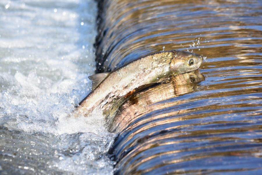 A salmon jumping up a stream, a sight you can see in Thacker Regional Park, one of the best things to do in Hope, BC