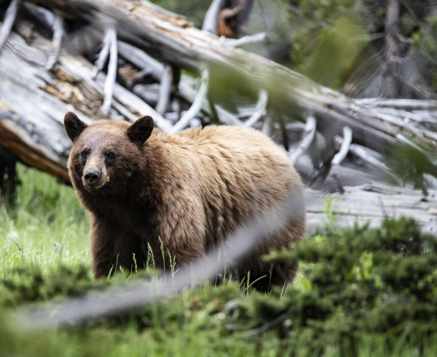 Grizzly bear in the woods near a hiking trail, one of the wildlife you may see while hiking as a beginner