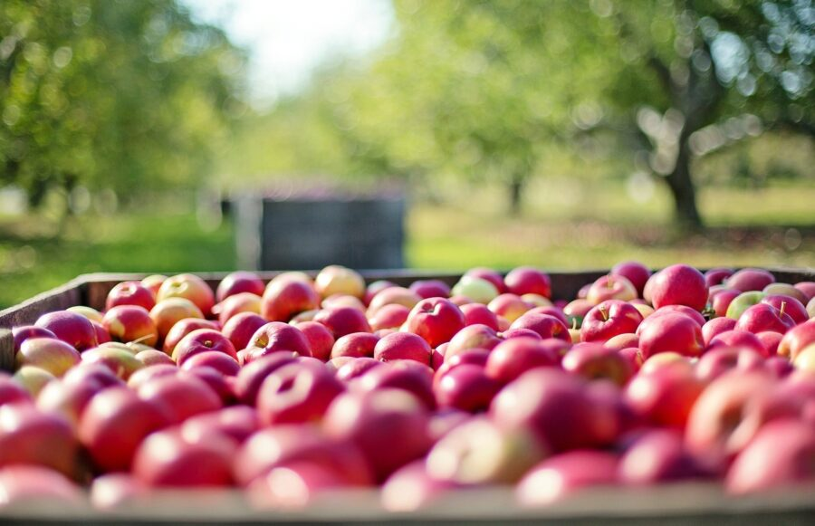 Red apples in a big box on a farm on a sunny day, perfect for volunteering abroad as a traveling college student