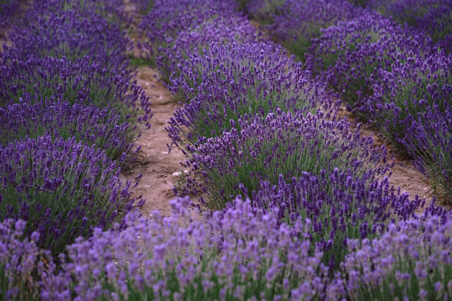 A few rows of lavender at the tour of the Sacred Mountain Lavender Farm, one of the best things to do in Salt Spring Island