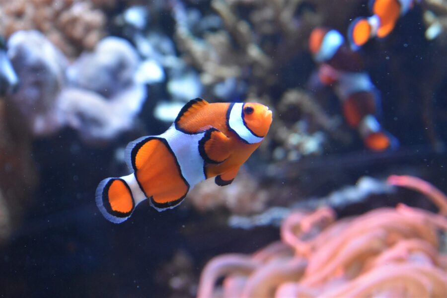 A clown fish at the Seattle Aquarium, near some sea anemone and two other clown fish - a possible stop on your Seattle walking tour
