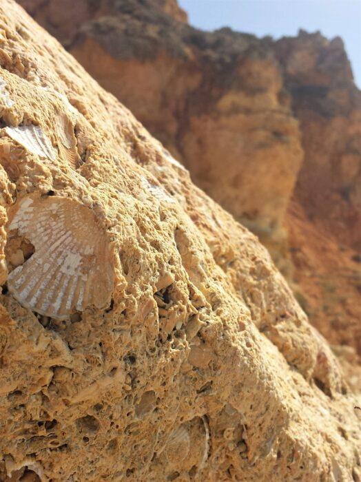 A shell melded into some sandstone at Praia Dona Ana, one of the best places to visit in Portugal for seashell collecting!